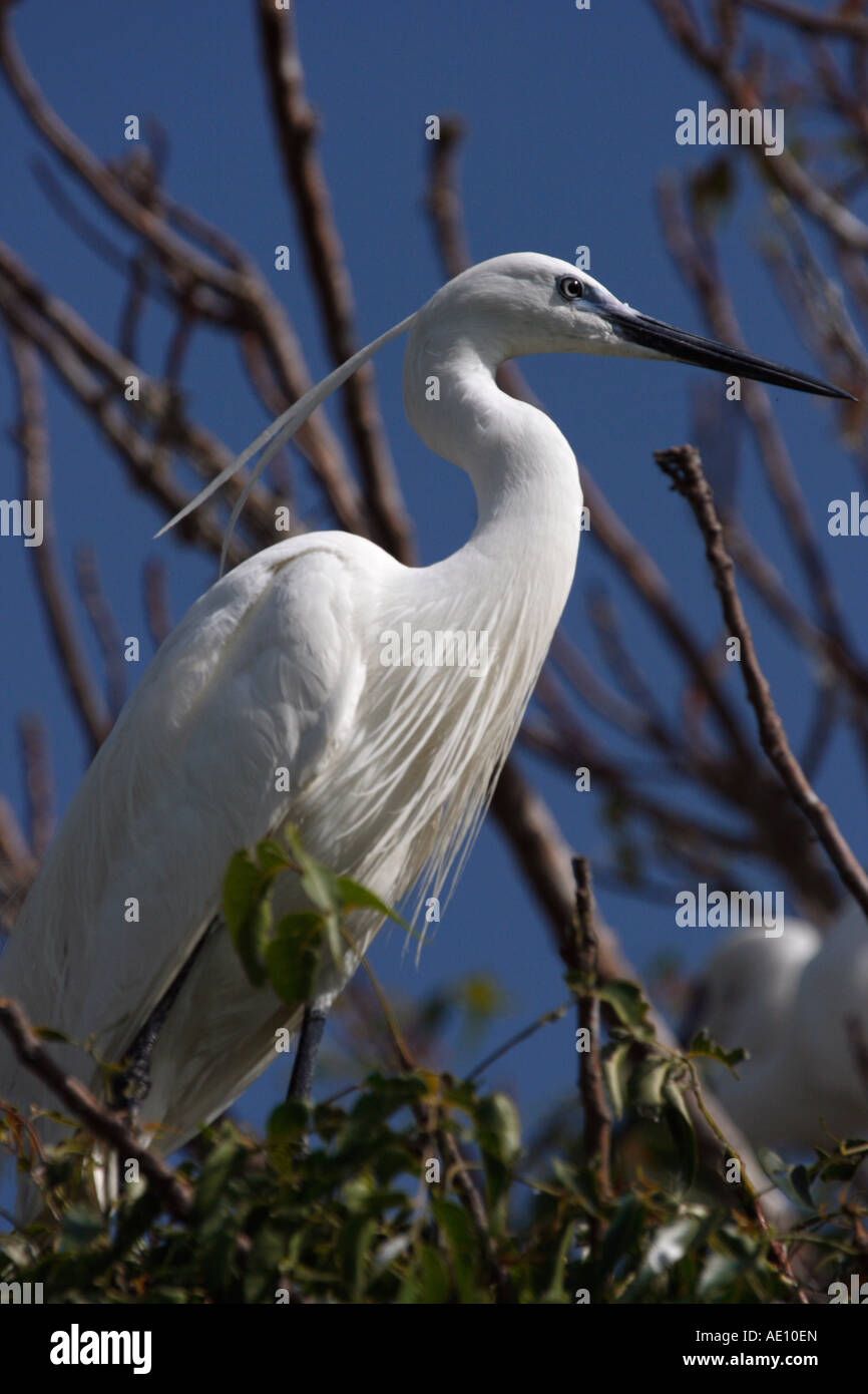 Portrait of a Little Egret in a tree - Stock Image