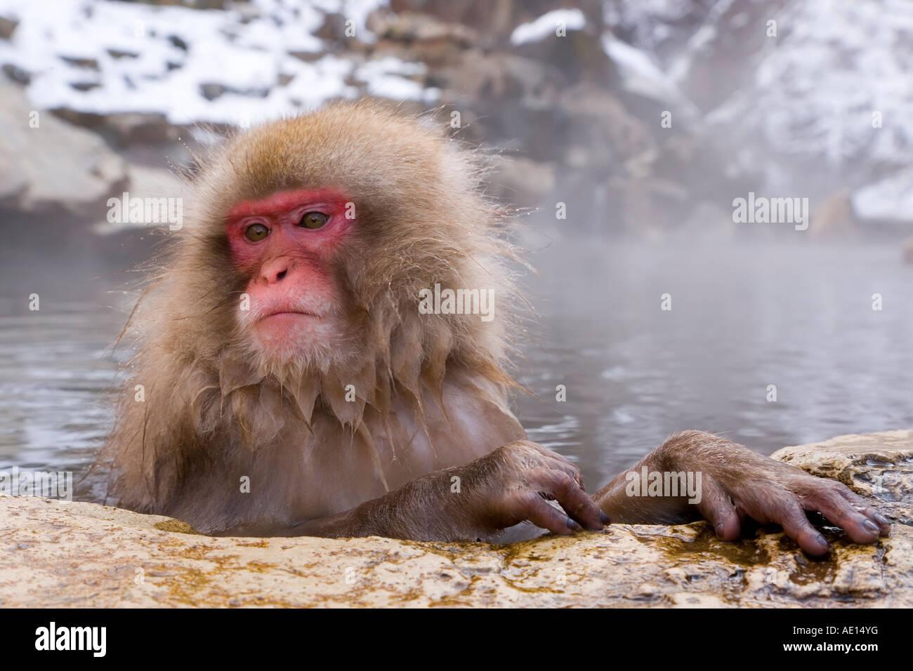 Japanese macaque Macaca fuscata Snow monkey soaking in hot thermal spring pool Joshin etsu National Park Honshu - Stock Image