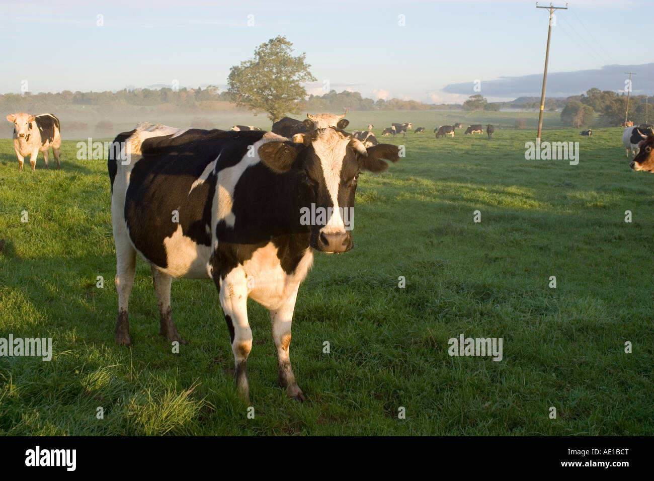 the social issue that recently dominated great britain the mad cow disease scare A type of cjd called variant cjd (or vcjd) can be acquired by eating meat from cattle affected by a disease similar to cjd called bovine spongiform encephalopathy (bse) or, commonly, mad cow disease.