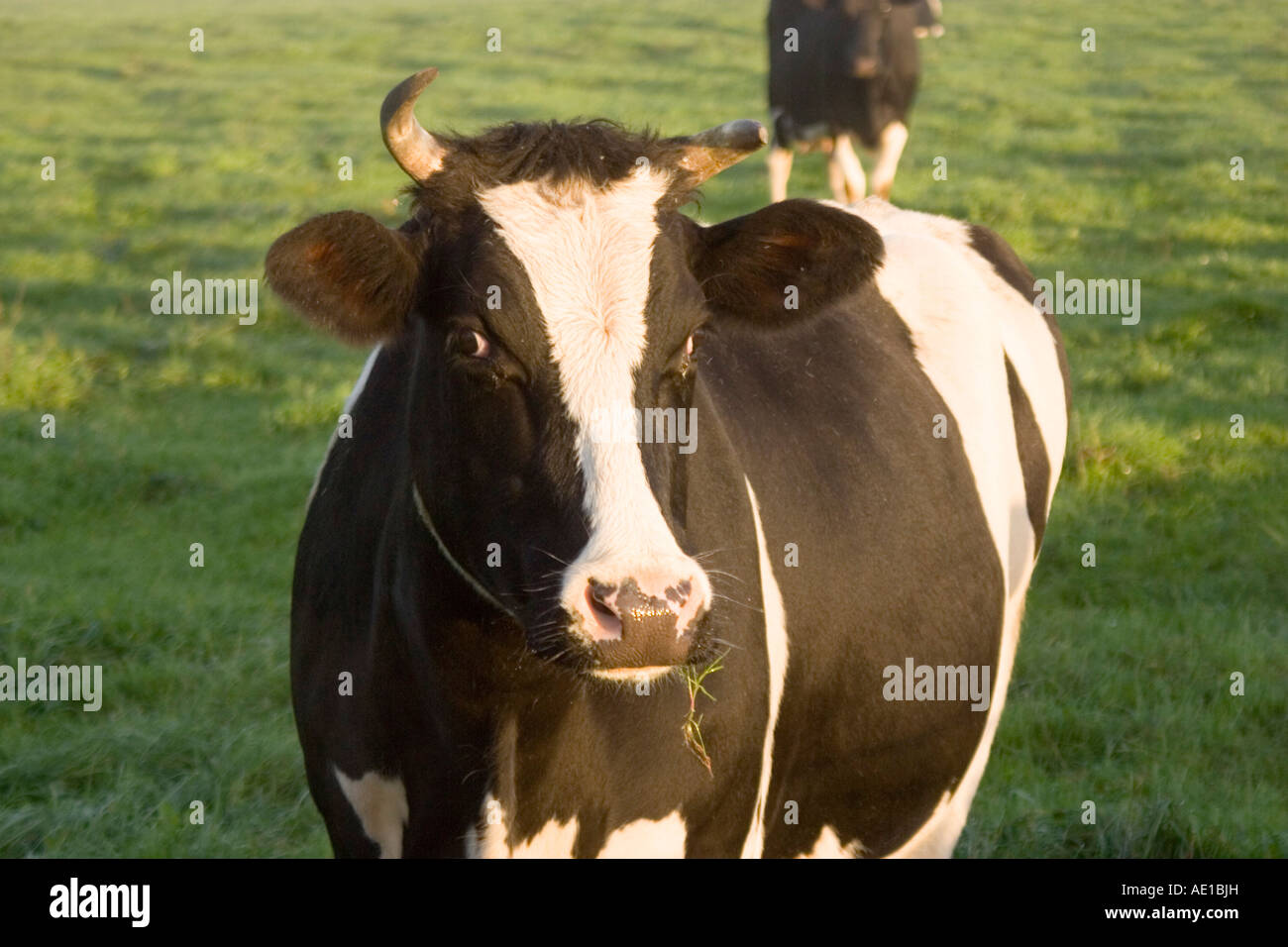Cheshire Brown White And Black Fresian And Jersey Cows In A Field