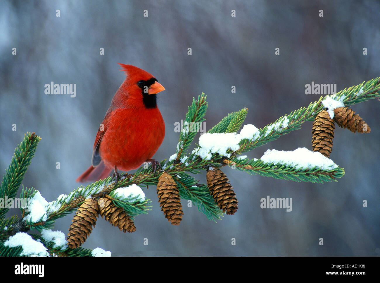 Northern Cardinal Cardinalis cardinalis Male on Spruce Bough Eastern North America - Stock Image