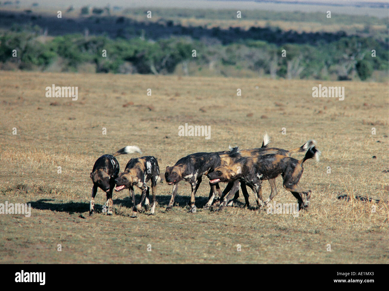 African Wild Dogs greet each other prior to a hunt Masai Mara National Reserve Kenya East Africa - Stock Image