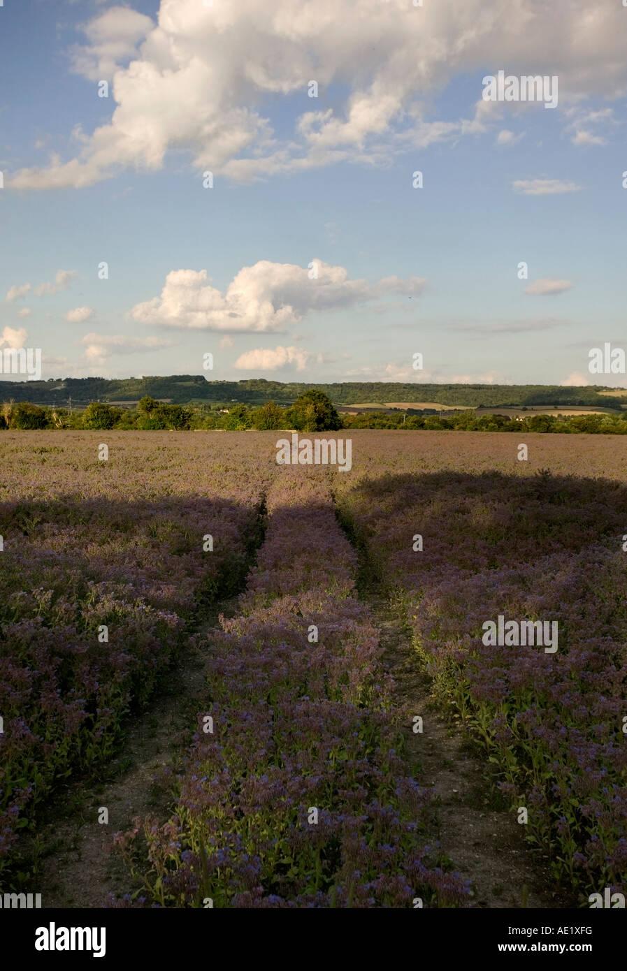 Flax field in Buckinghamshire UK 2007 - Stock Image