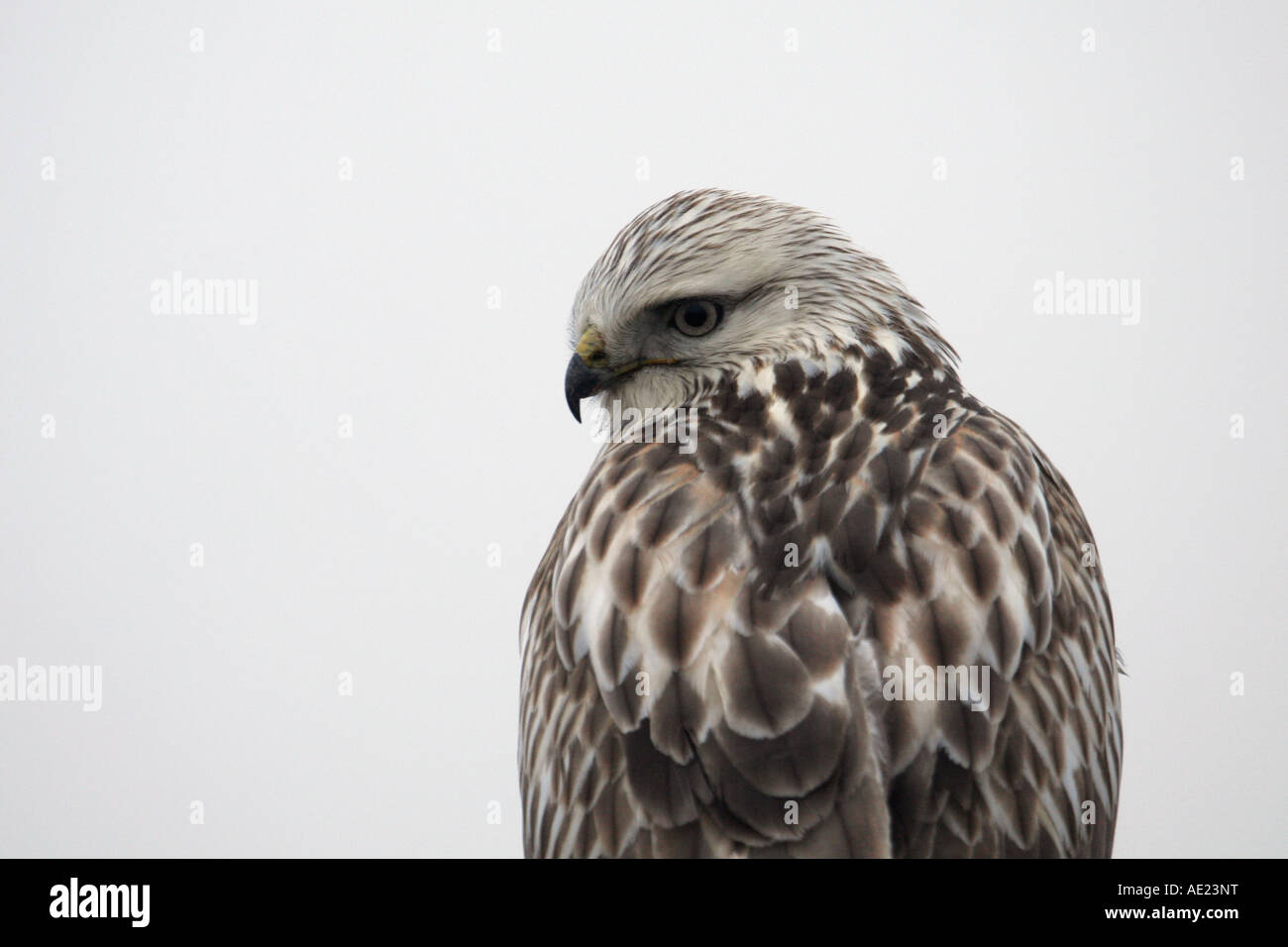 Rough legged hawk looking back over shoulder at camera close up Stock Photo