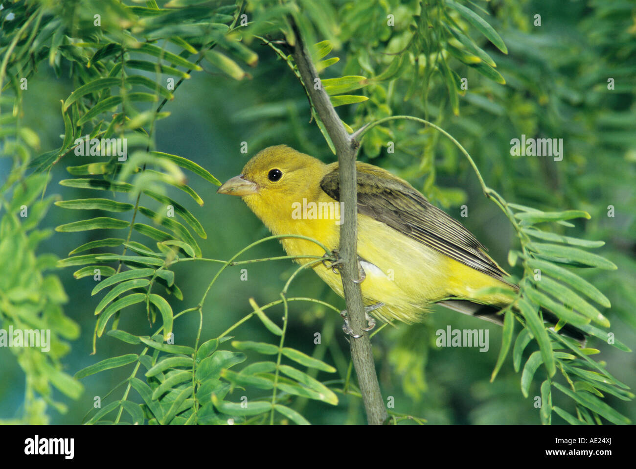 Scarlet Tanager Piranga olivacea female on Mesquite tree South Padre Island Texas USA May 2005 - Stock Image