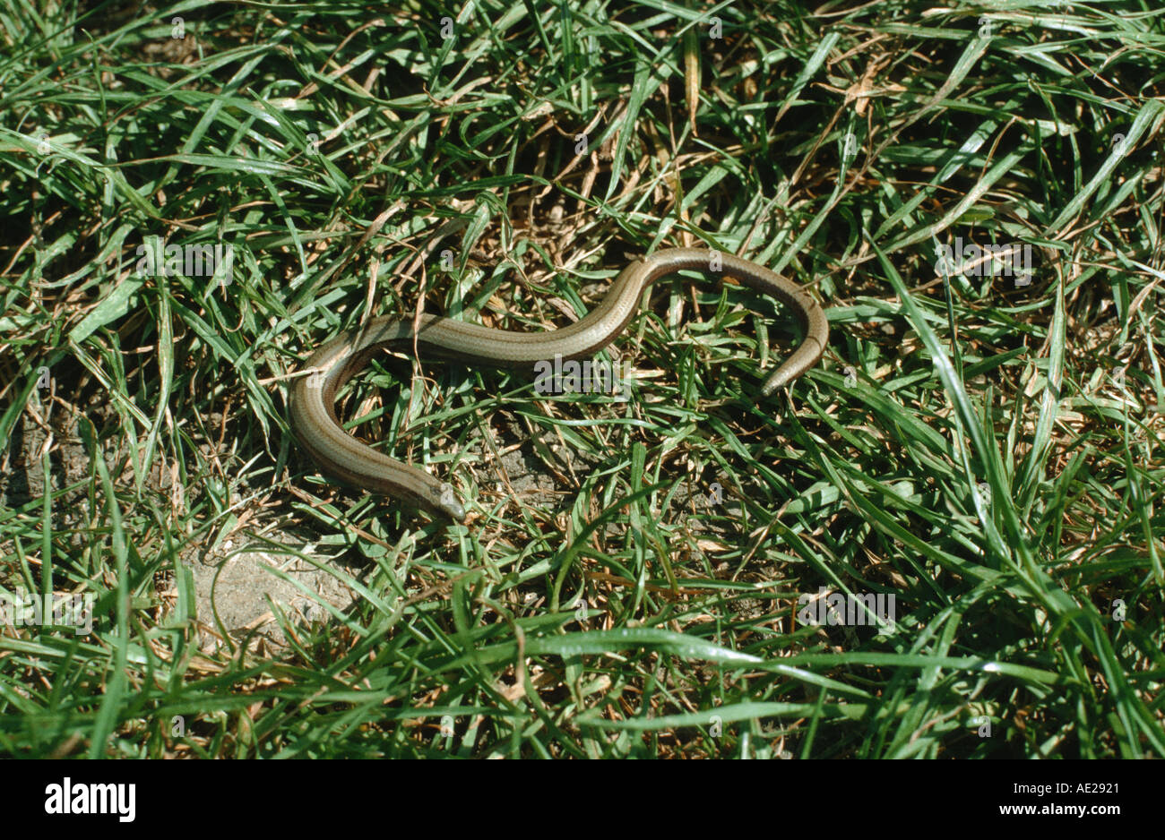 slow worm laying in the sun BLINDSCHLEICHE Stock Photo