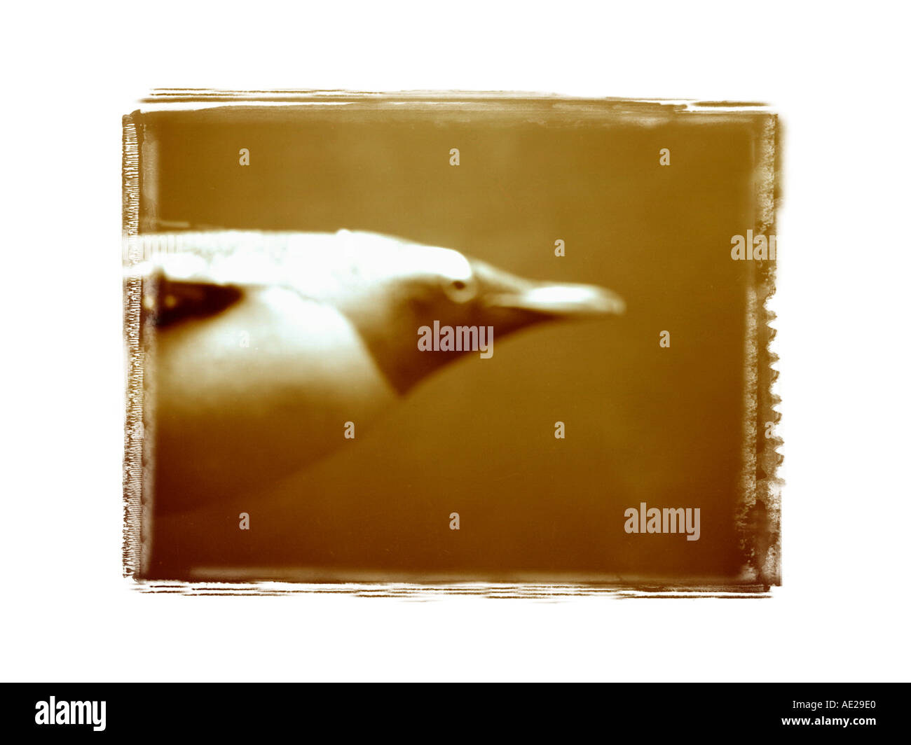 blurring penguin swimming under water  sepia toneed - Stock Image