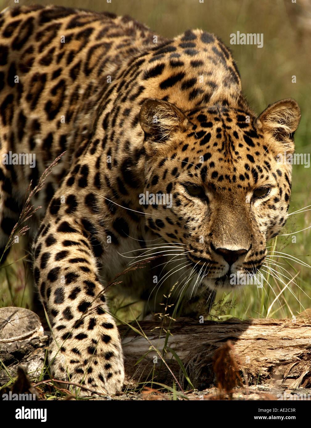 Amur Leopard, Wildlife Heritage Foundation, Kent, UK - Stock Image
