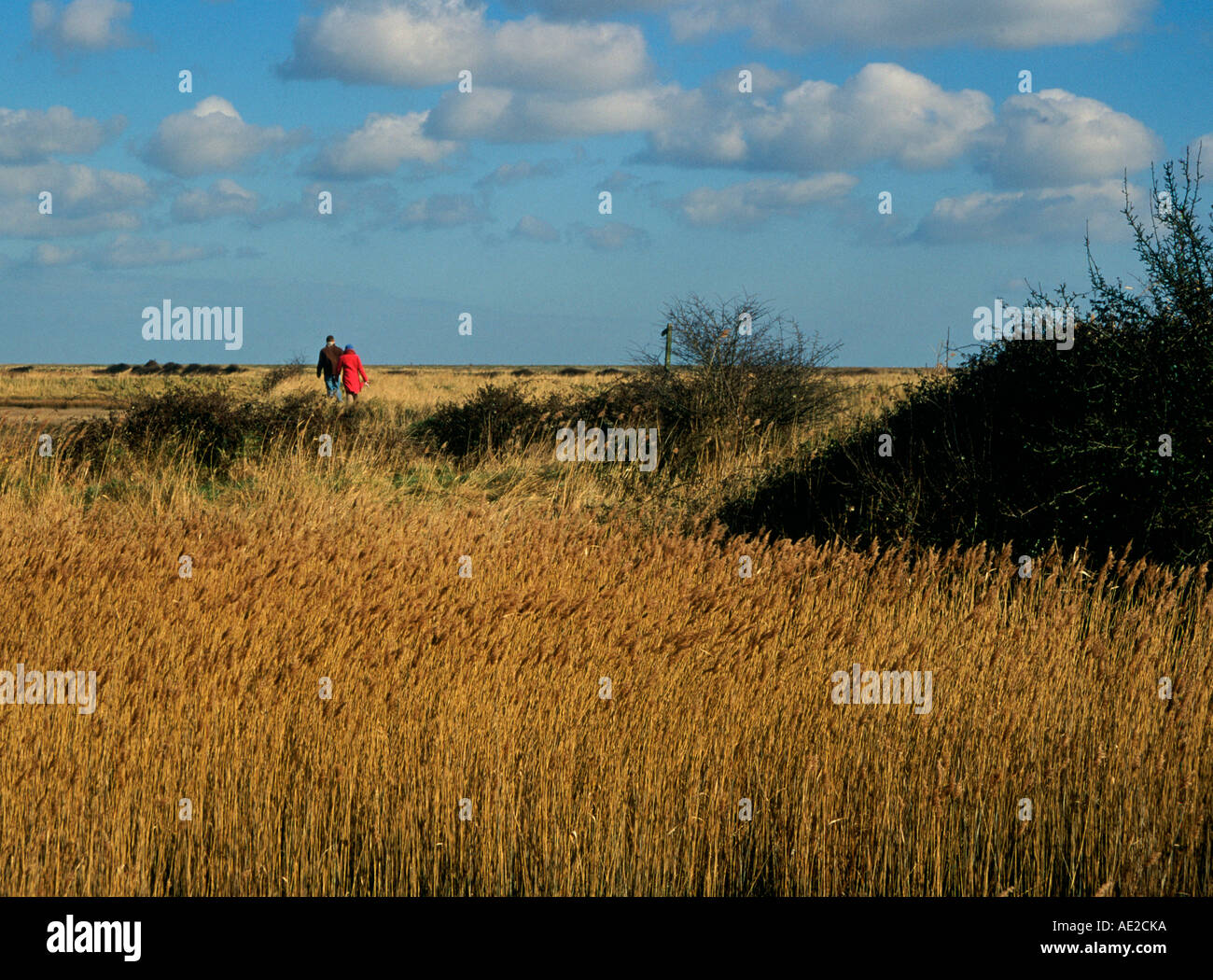 Marshland reedbeds on drained land at Hollesley Suffolk England - Stock Image