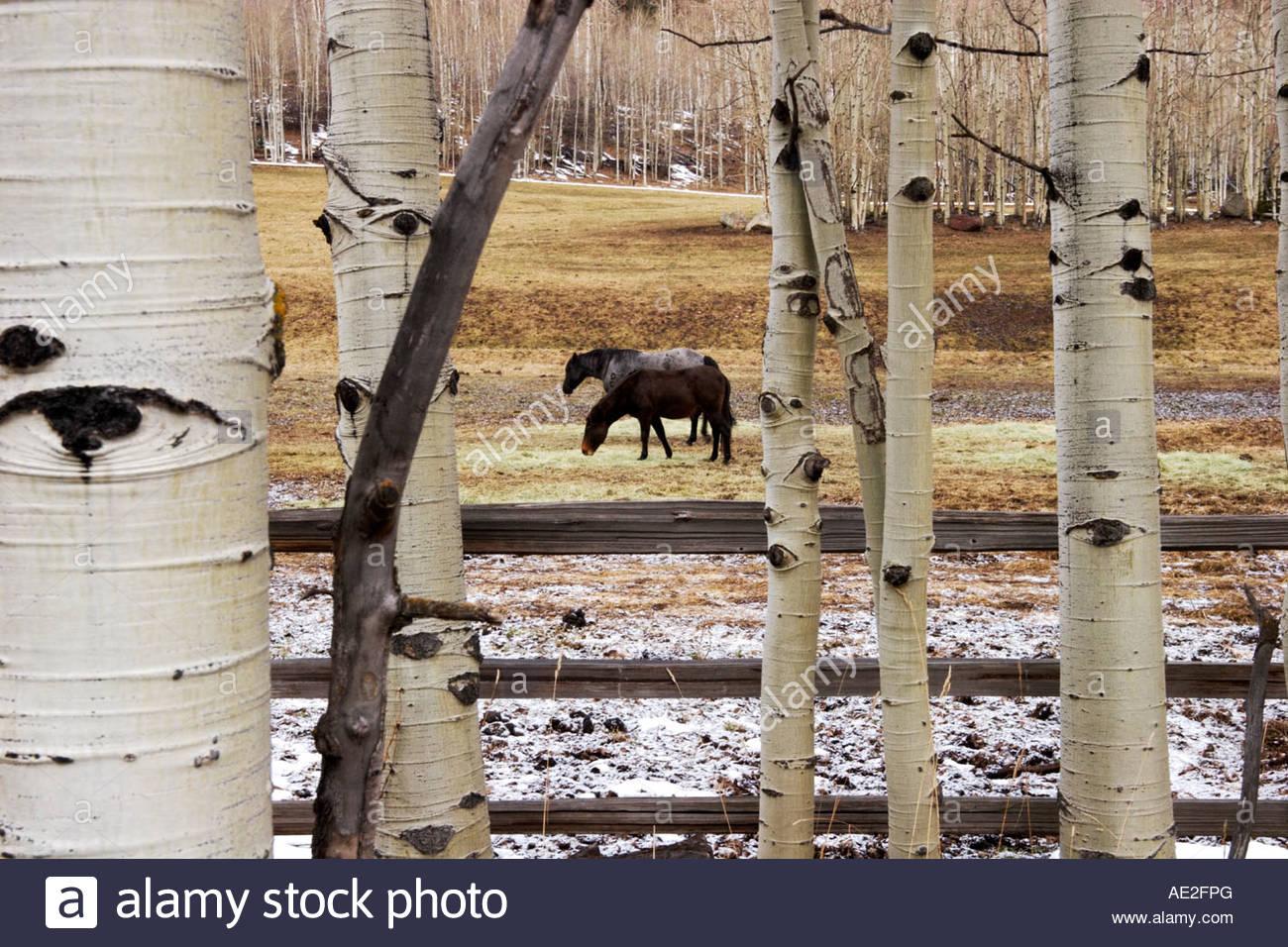 Belgian Draft Horses in a Meadow Framed by Aspen Trees Aspen Colorado - Stock Image