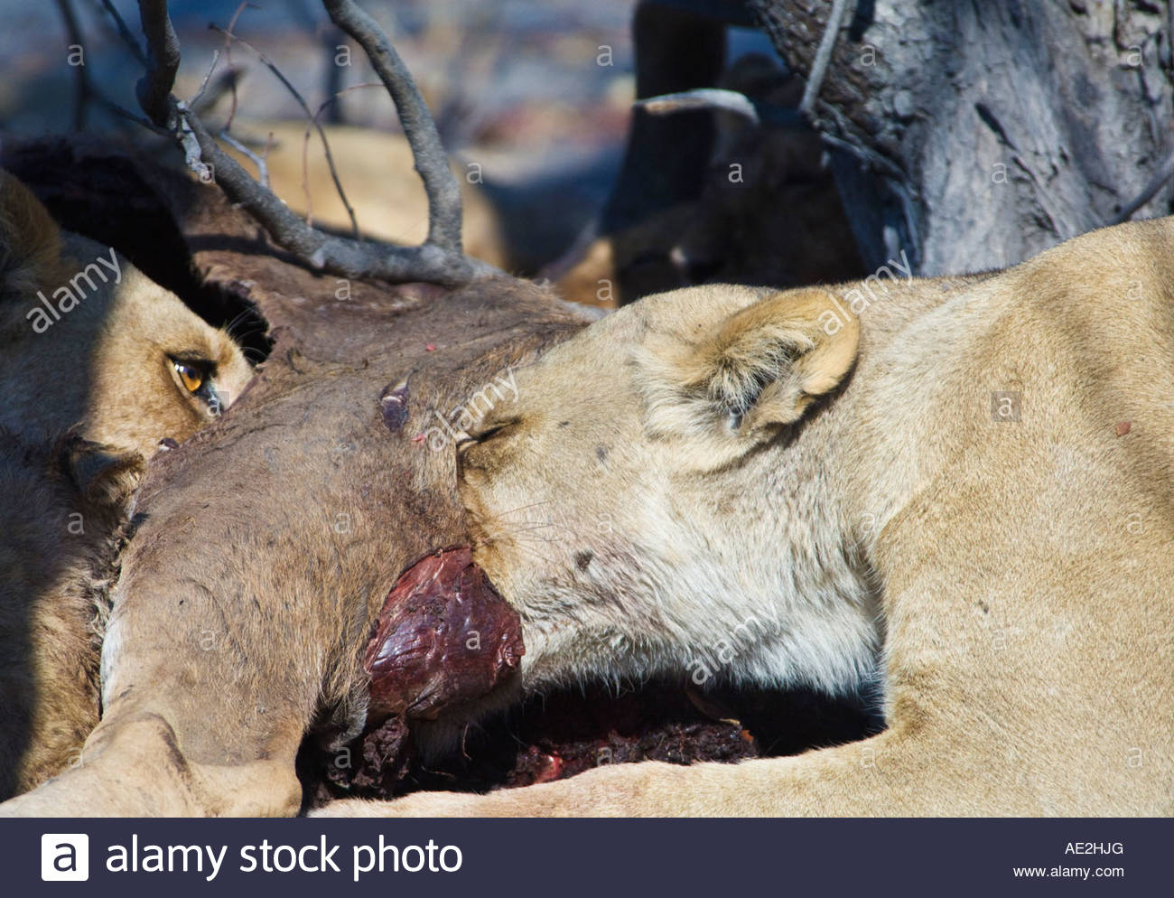 Two lions feeding on a carcass. Moremi, Botswana Stock Photo