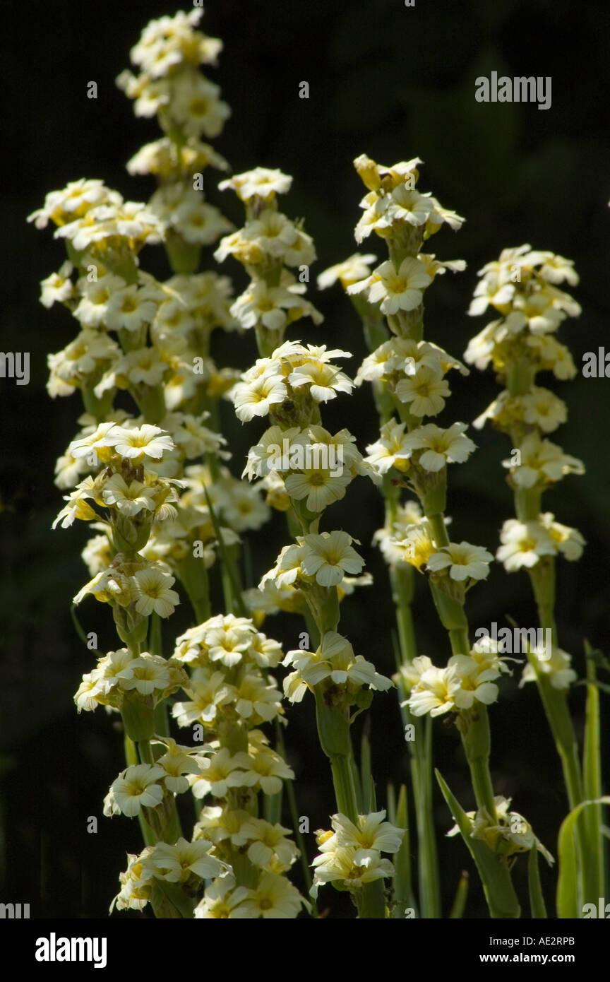 Sisyrinchium striatum garden monocotyledon perennial for herbaceous sisyrinchium striatum garden monocotyledon perennial for herbaceous borders cream white flowers member of the iris family izmirmasajfo