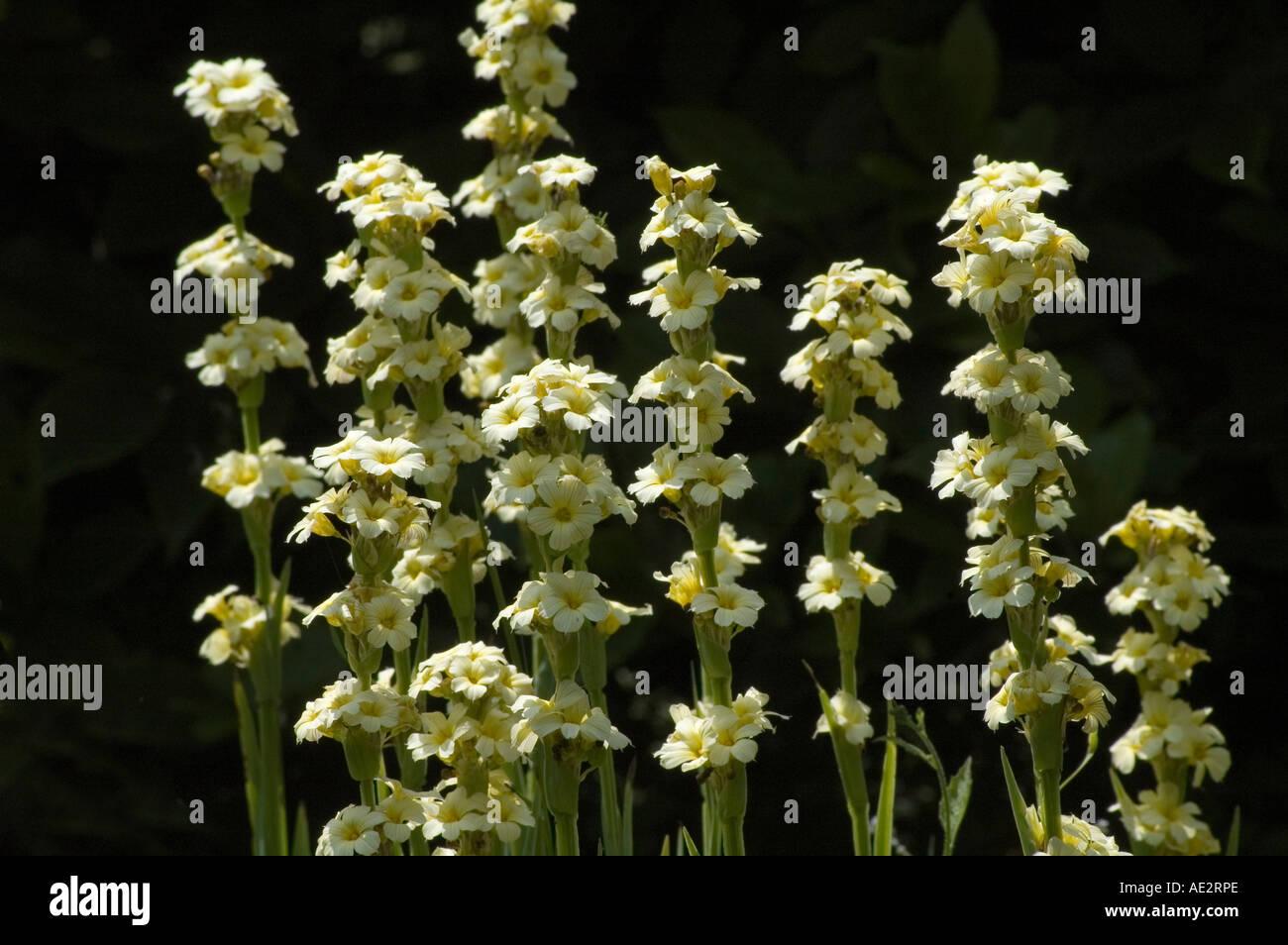 Sisyrinchium striatum garden border flowering perennial with cream sisyrinchium striatum garden border flowering perennial with cream flowers in summer mightylinksfo