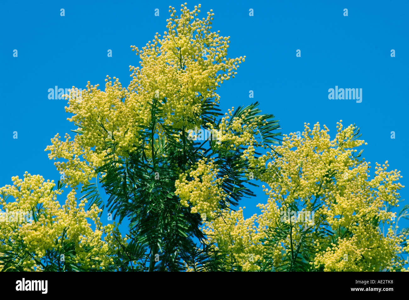 Flowering tree from australia yellow stock photos flowering tree flowering tree from australia yellow flowers in early spring sometimes winter stock image mightylinksfo
