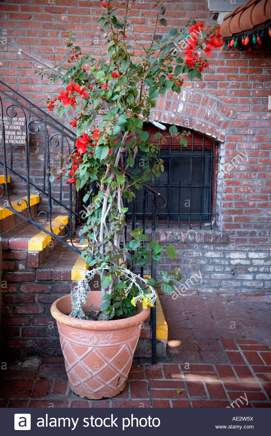 Flowering Bougainvillea and Window at Olvera Street Los Angeles California - Stock Image
