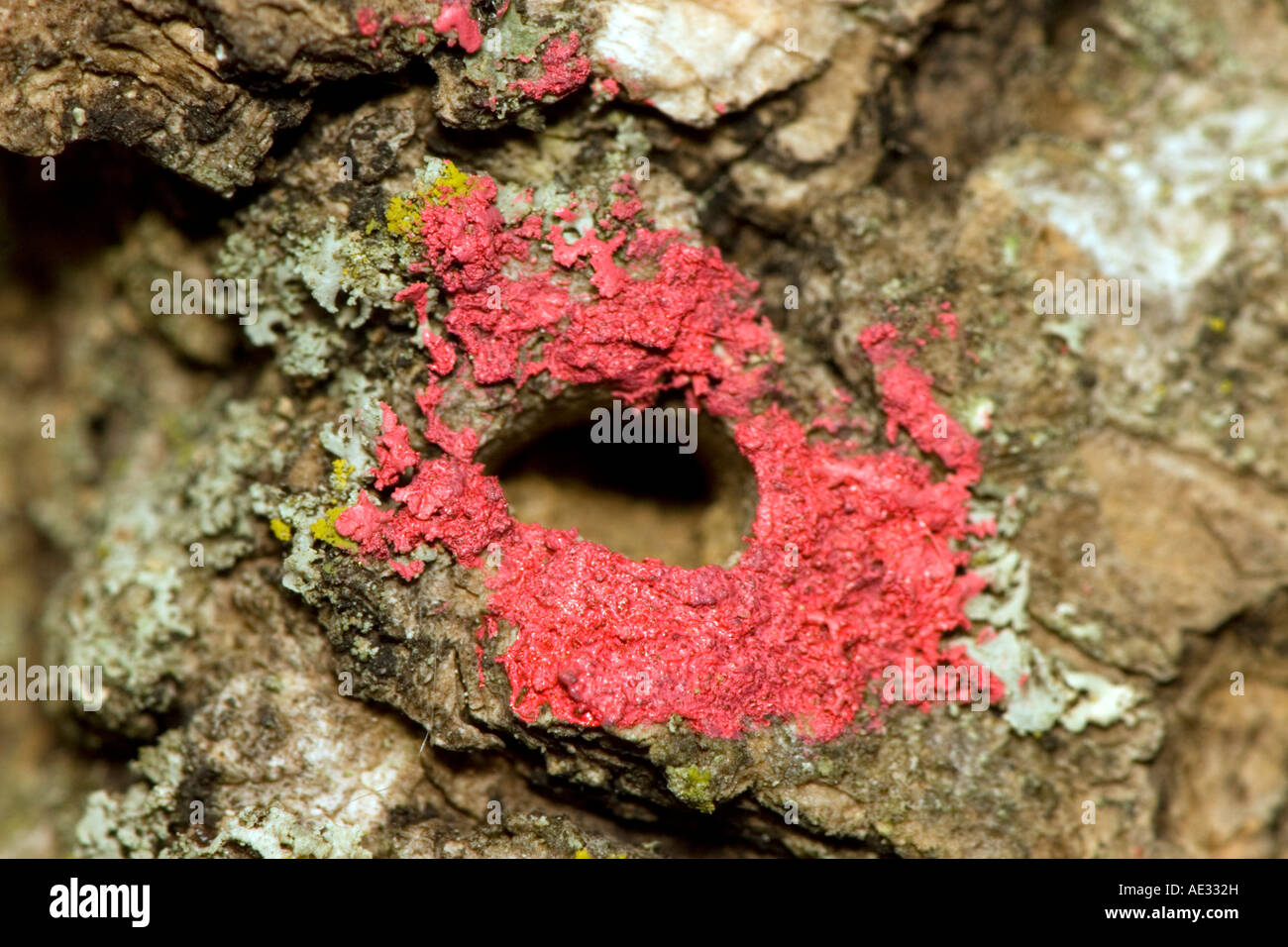 Characteristic d-shaped exit hole of the emerald ash borer, marked in red paint - Stock Image