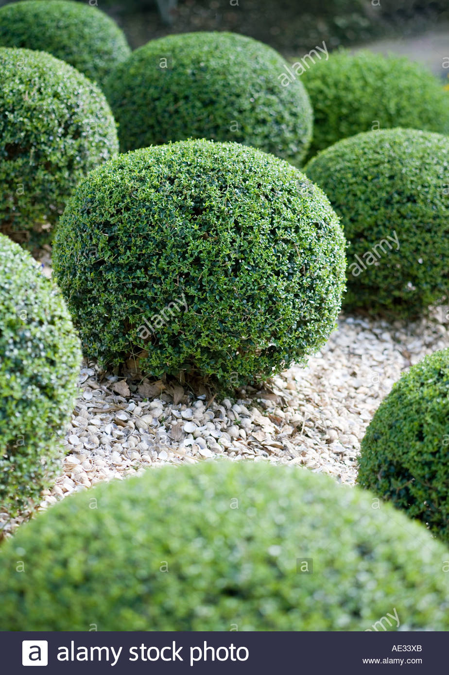 Box Hedge Plants Trained Into Round Ball Bush Shapes In Topiary Garden