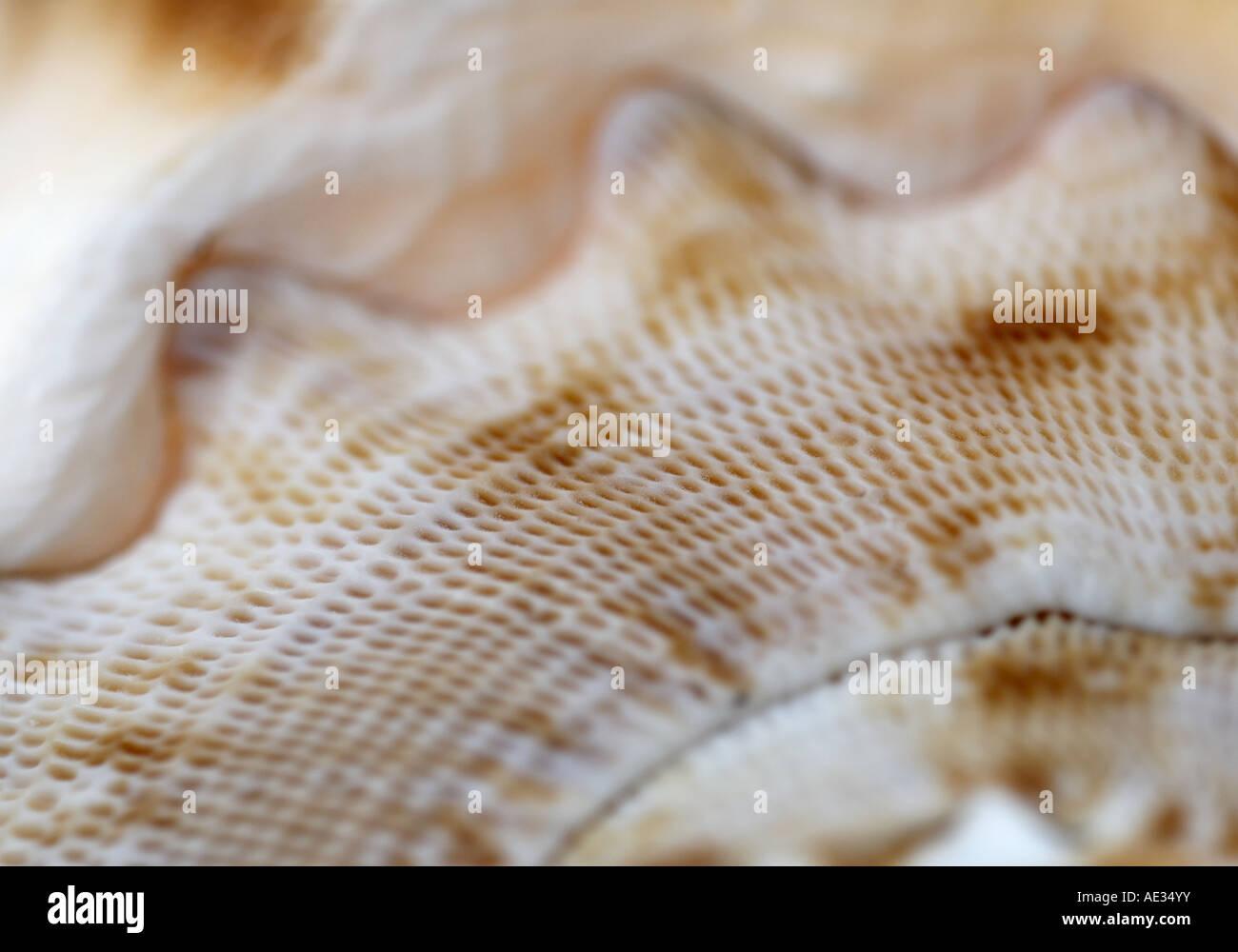 Marco of a Helmet seashell Stock Photo: 13552334 - Alamy