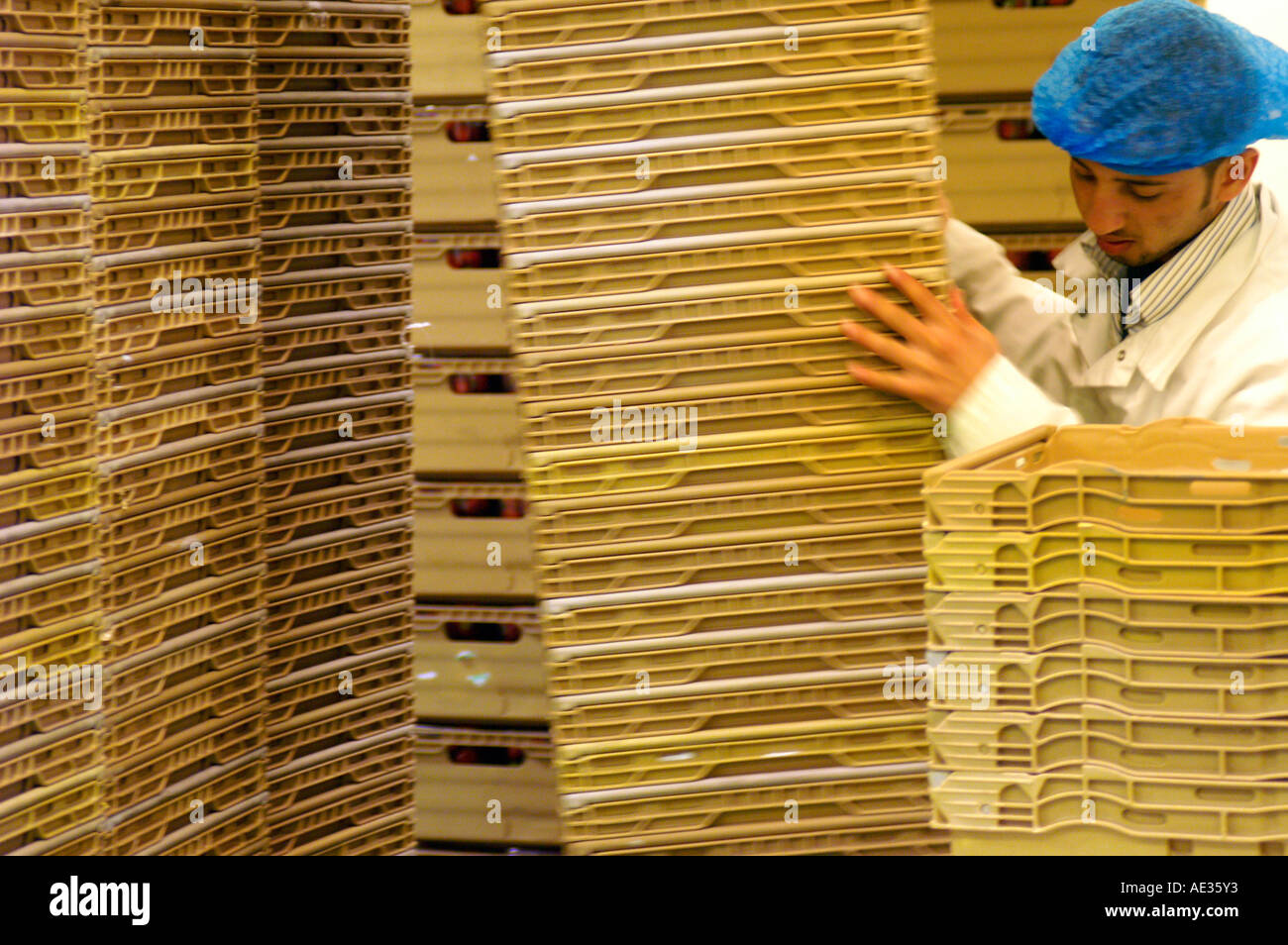 Desperate worker in packhouse, England - Stock Image
