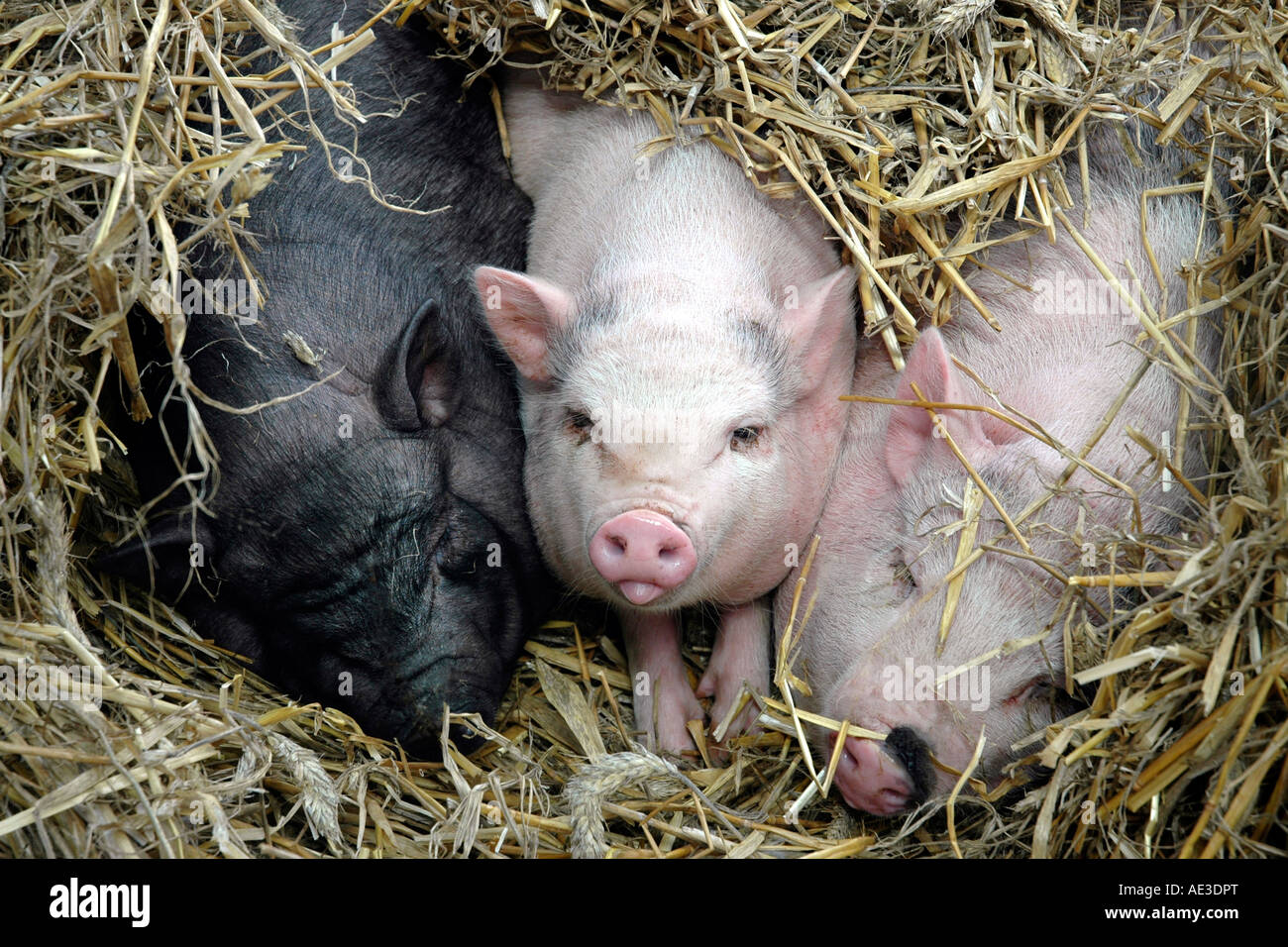 Three little pigs nestling in straw in the pigbreeding village of Trie sur Baïse in southwest France - Stock Image