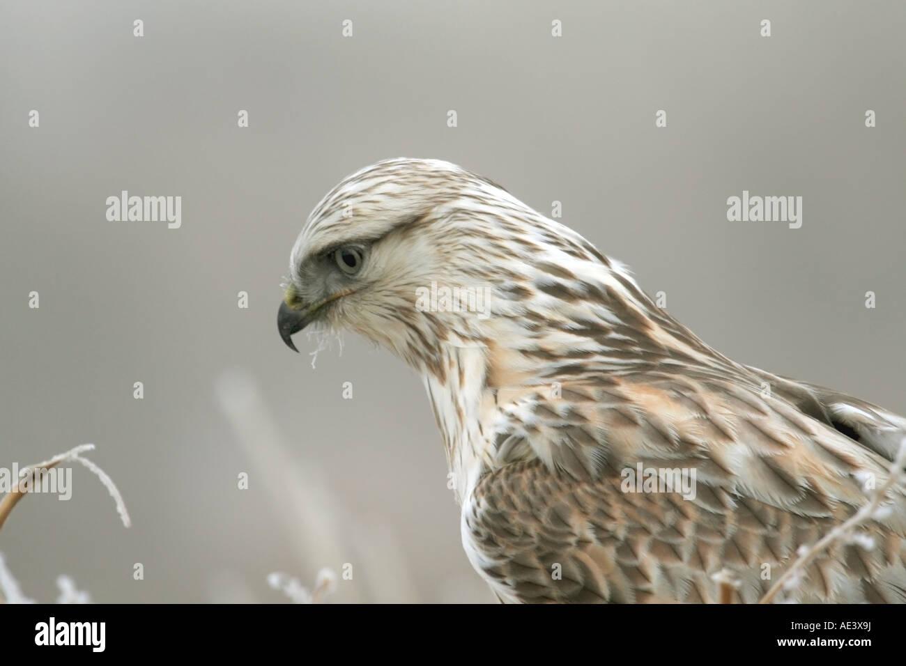 Rough legged hawk perched in brush Stock Photo
