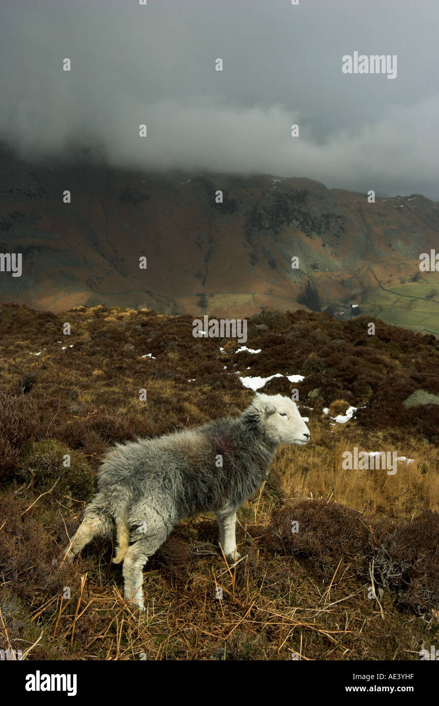 vertical photo of herdwick sheep on hillside in the english lake district Stock Photo