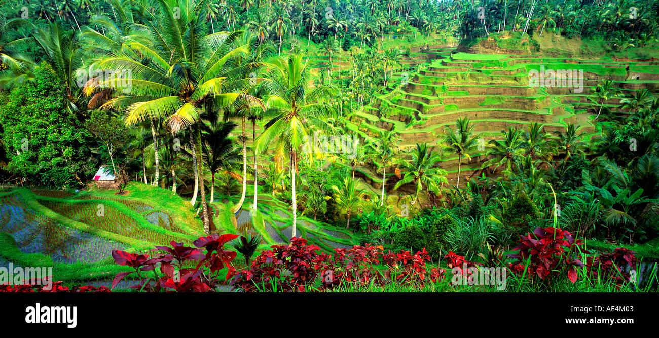 Indonesia Bali near Ubud terraced rice fields - Stock Image