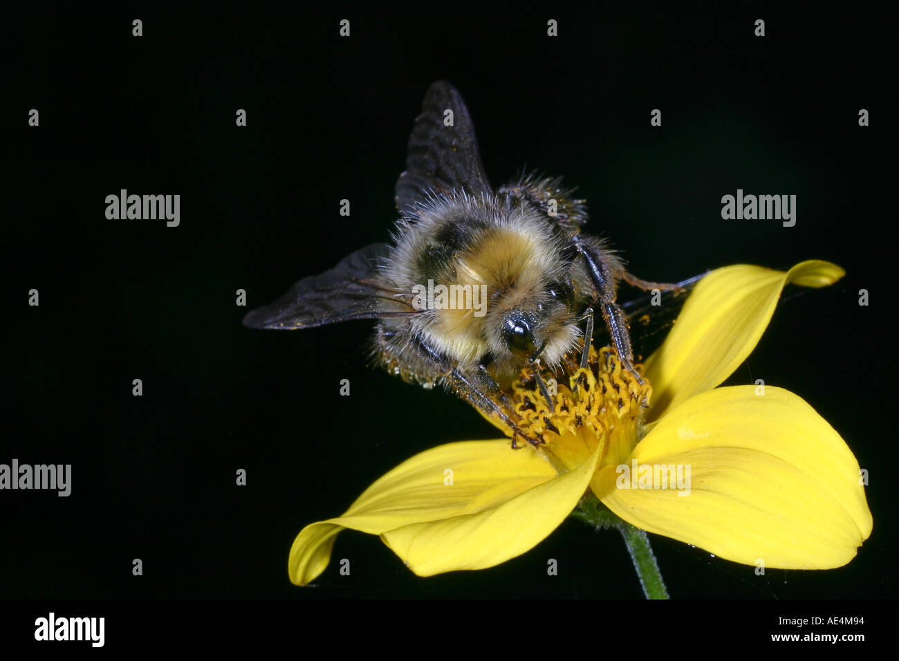 One of many types of bumble bee feeding on yellow flower in garden one of many types of bumble bee feeding on yellow flower in garden buff tailed family apidae bombus terrestris mightylinksfo