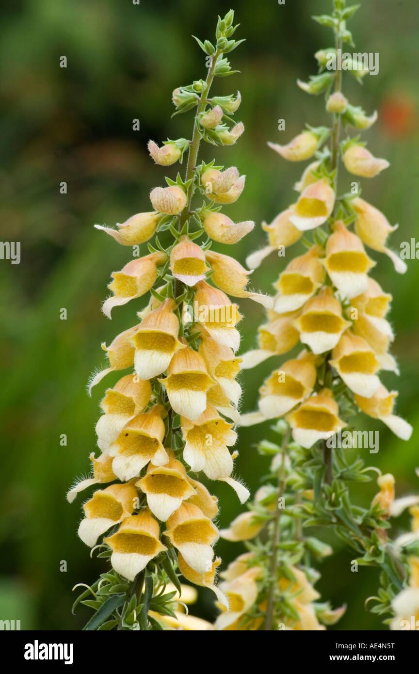 Digitalis Foxglove Spice Island Garden perennial biennial for border use - Stock Image