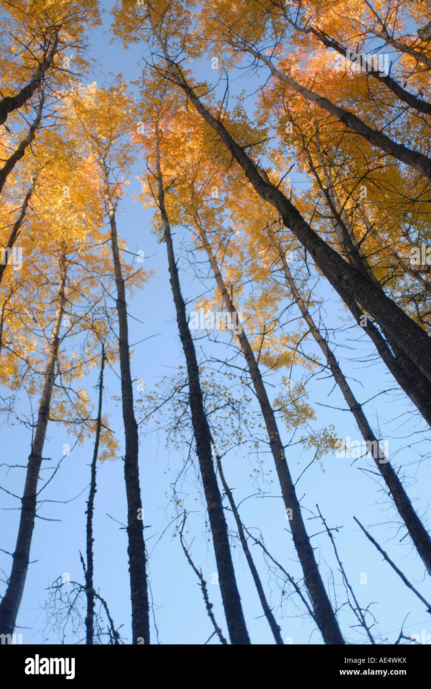 Aspen trees (Populous tremuloides) in late day light, Vashon Island, Washington state, United States of America, - Stock Image