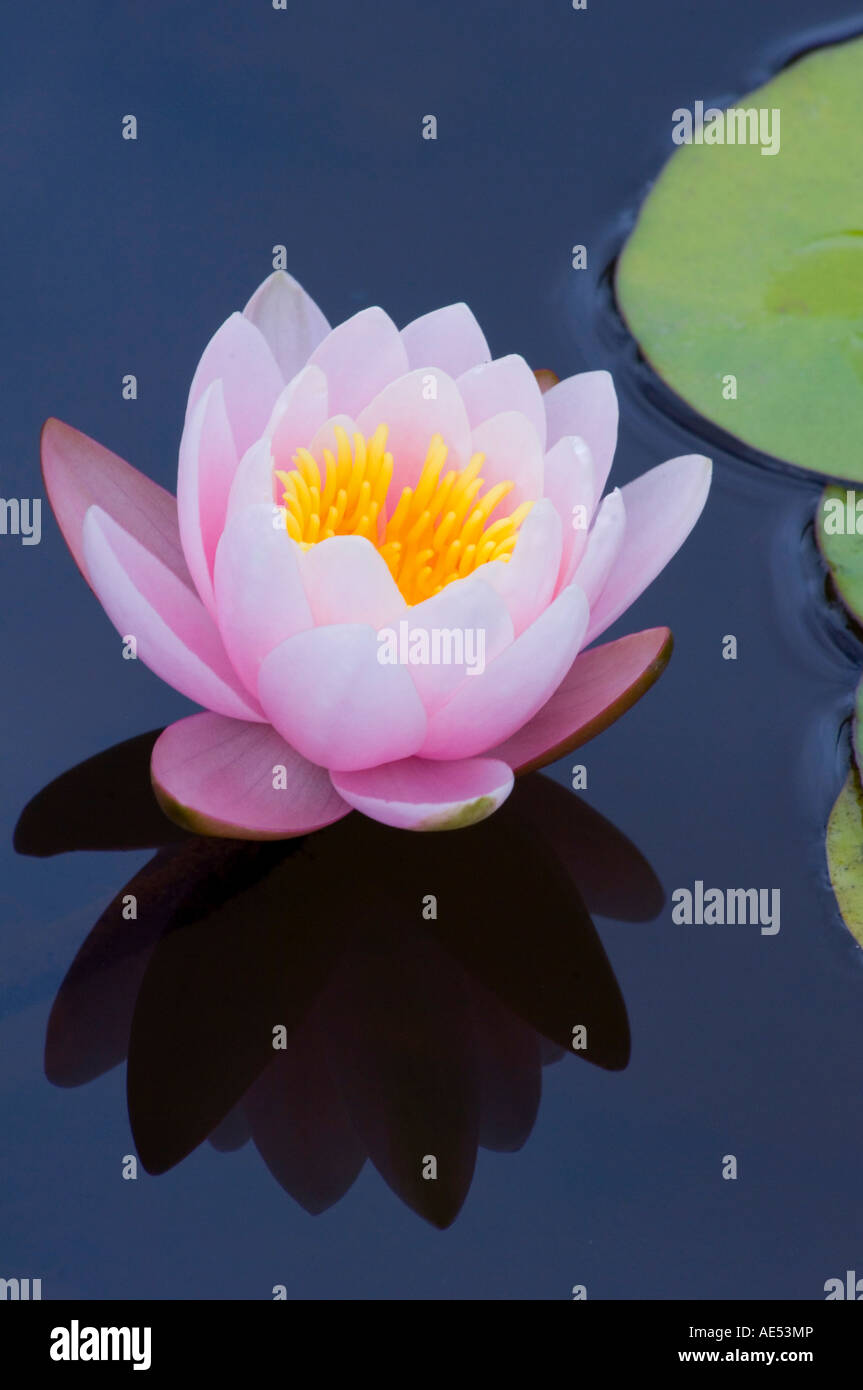 Pink waterlilies (nymphaea) in the Quinto de Palhero Ferreiro (Blandy's Garden), Madeira, Portugal, Europe - Stock Image