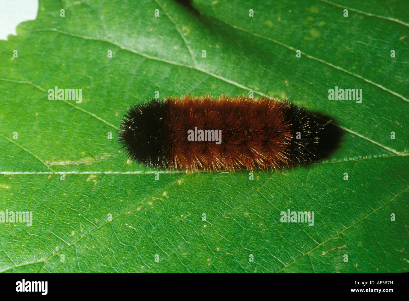 Banded woolly bear caterpillar, the larva of the Isabella tiger moth (Isia isabella) - Stock Image