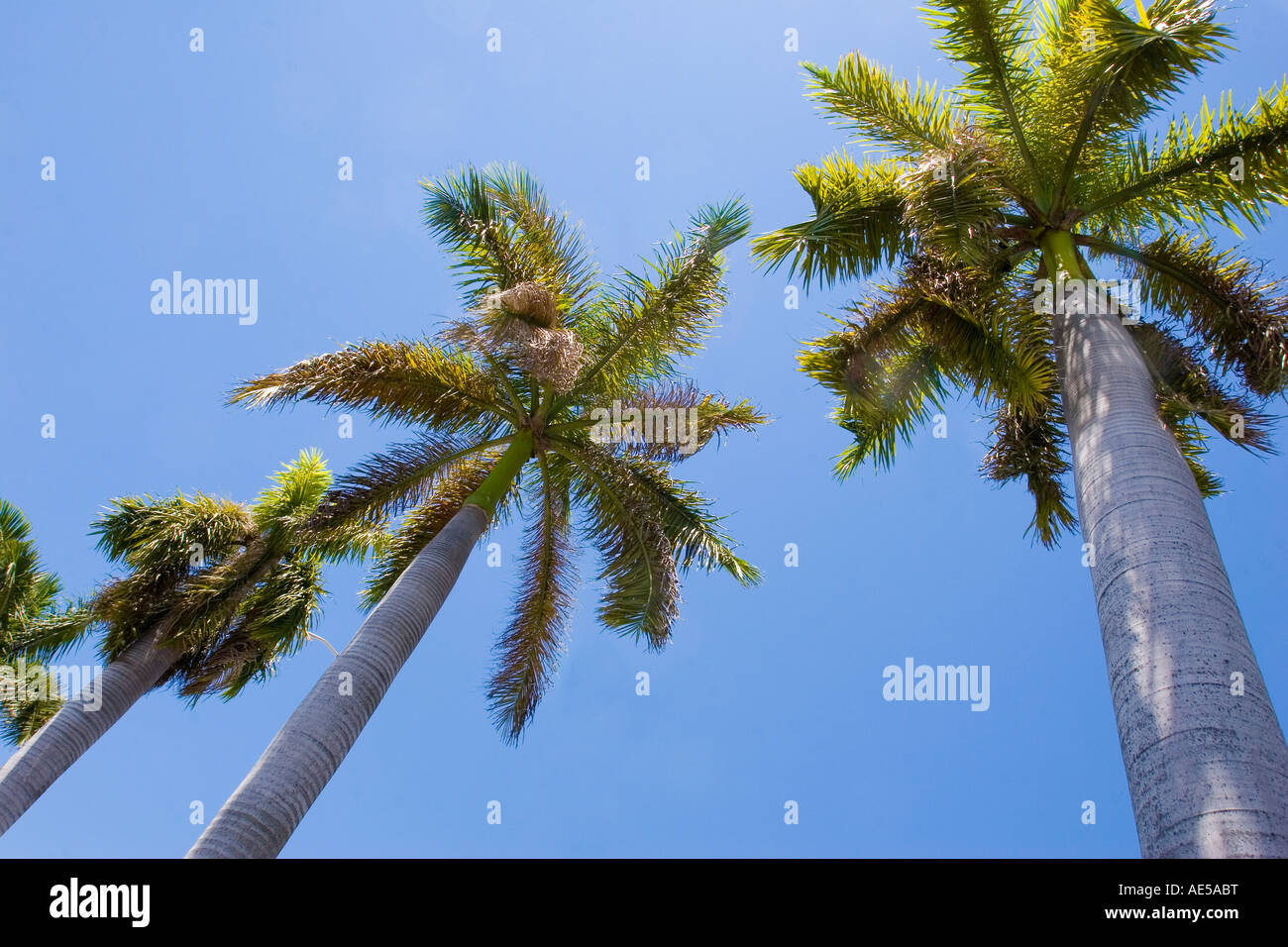 Tall palm trees in a row high overhead against a clear blue sky Miami Florida - Stock Image