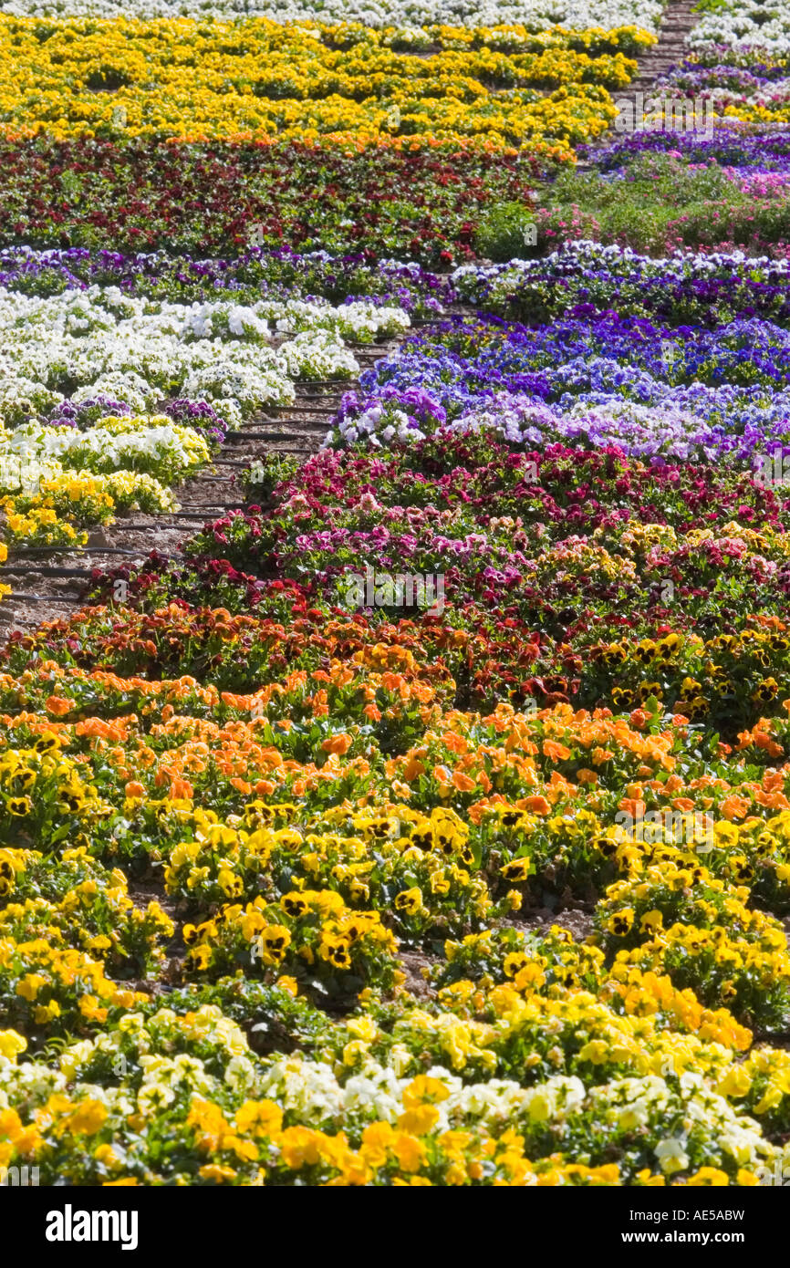 Pansy flowers in rainbow colors growing in rows as a crop with Stock ...