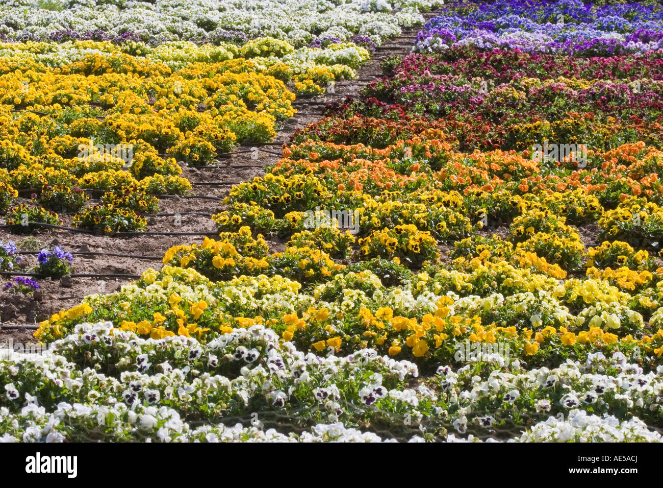 Pansy flowers in rainbow colors growing in rows as a crop with irrigation hoses along the rows Gilroy California - Stock Image