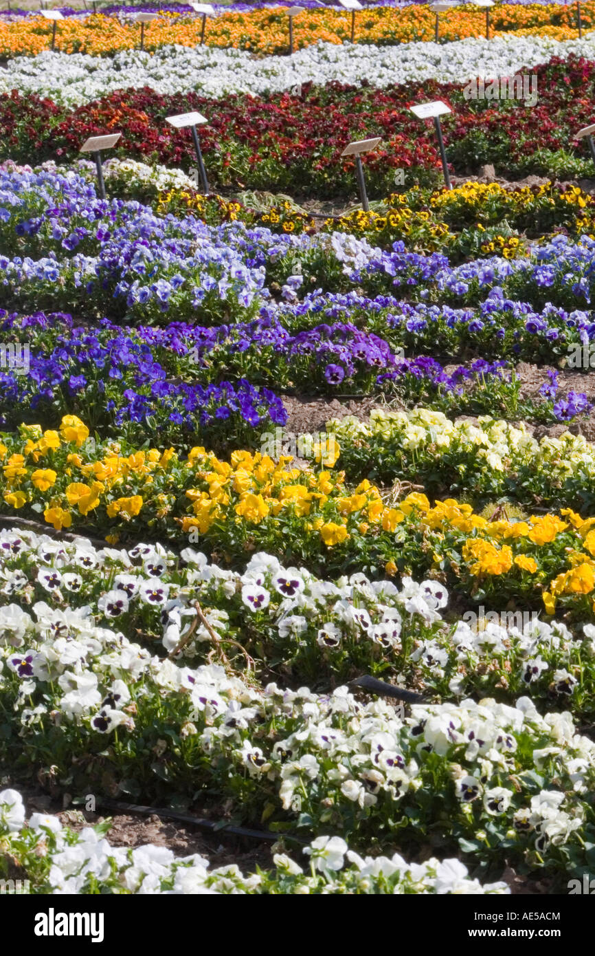 Pansy flowers in many colors growing in rows in a field as a crop in Gilroy California - Stock Image
