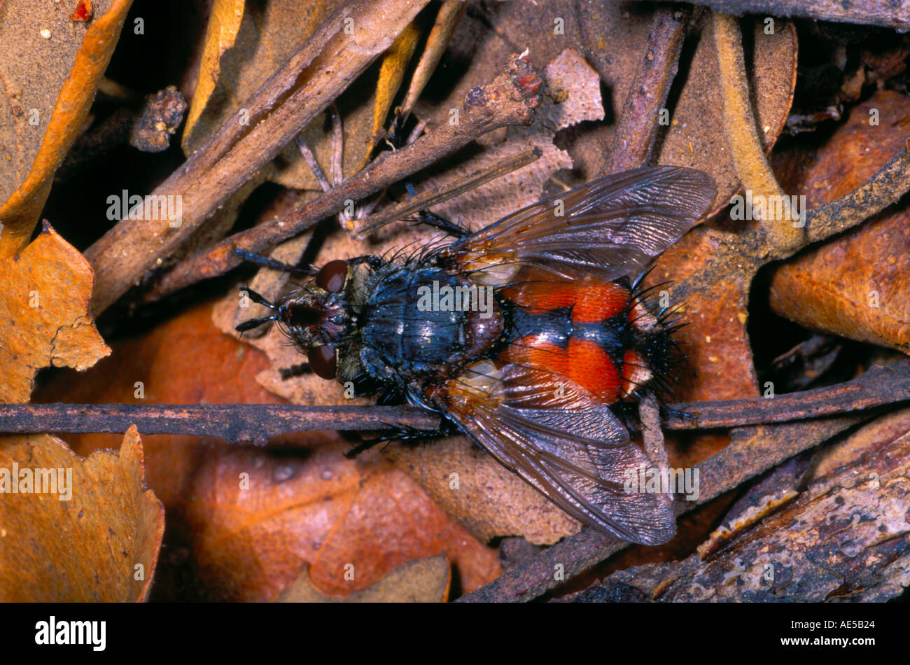 Tachinid Fly, Family Tachinidae. On ground Stock Photo