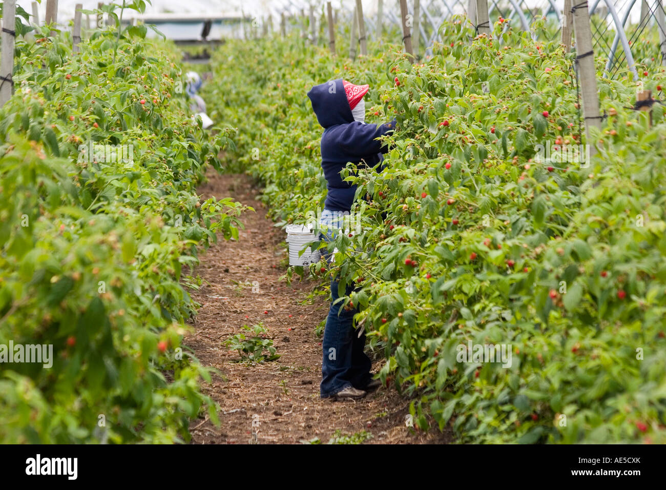 Female immigrant farm worker reaching into a row of raspberry crops to pick the berries in a California field - Stock Image