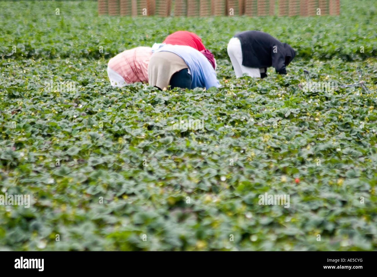 Hispanic immigrant farm workers in strawberry field bending over to pick strawberry crops - Stock Image