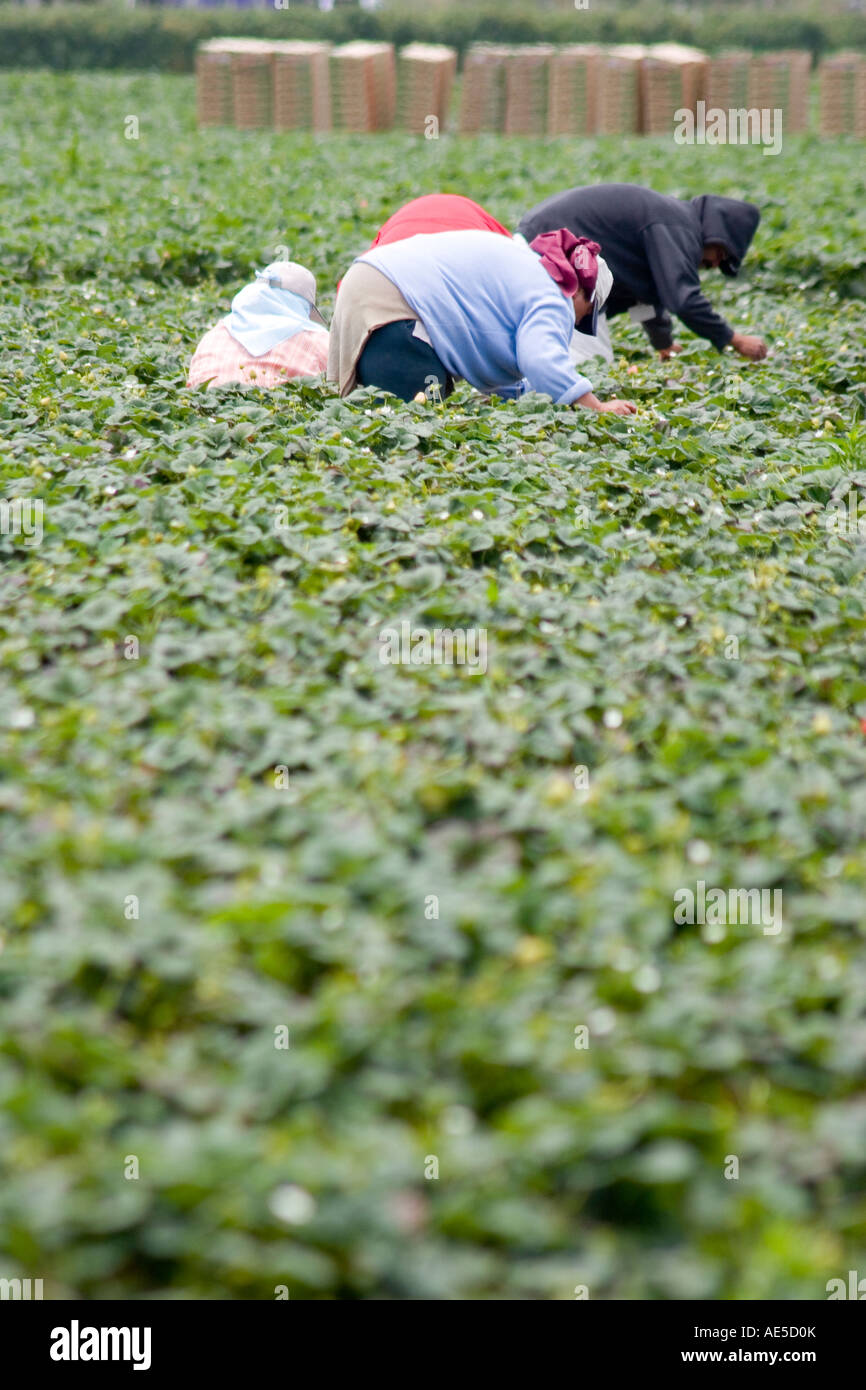 Hispanic immigrant farm workers in strawberry field bending over and reaching to pick strawberry crops - Stock Image