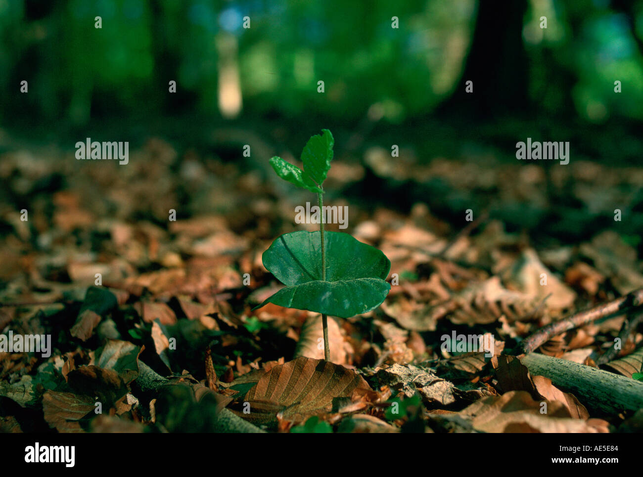 Young beech tree seedling sprouting among dead leaves in the New Forest in Hampshire England Stock Photo