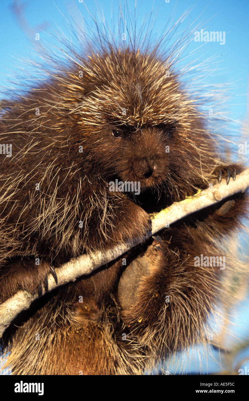 Porcupine Eating Tree Branch Erethizon dorsatum Private Property MINNESOTA  Stock Photo