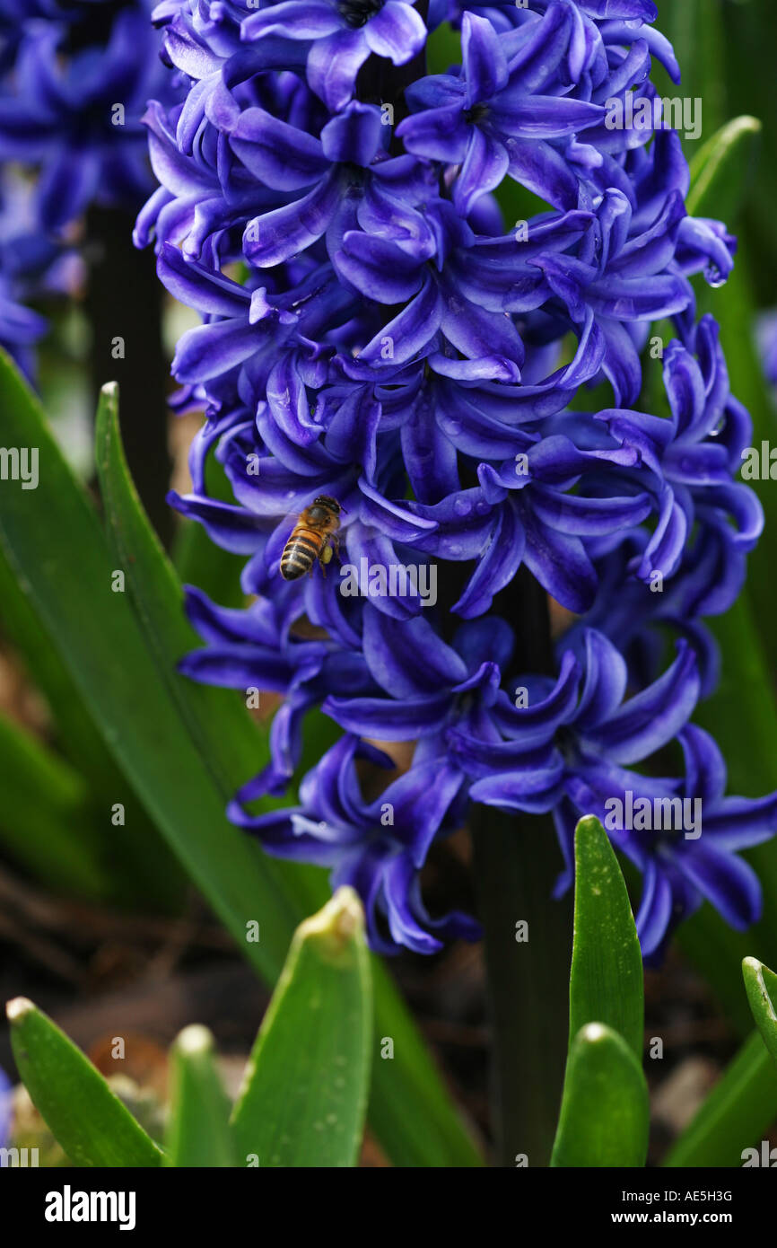 Honey bee apis mellifera flying around petals of a purple hyacinth flower pollinating the flower - Stock Image