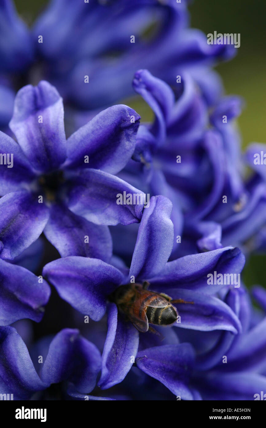 Honey bee apis mellifera flying inside petals of a purple hyacinth flower and pollinating the flower - Stock Image