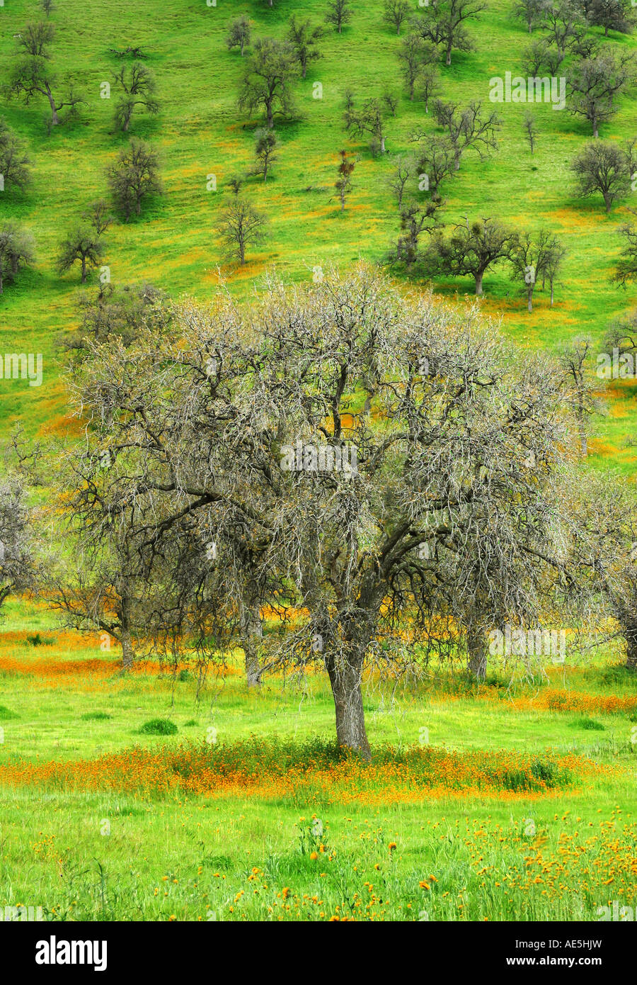 Bare live oak trees in winter scattered on a lush green hill with orange California poppies Tehachapi Valley California Stock Photo