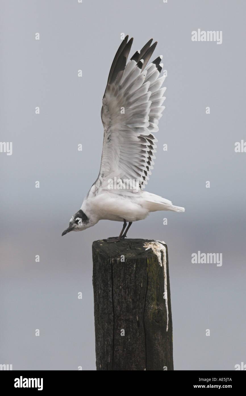 Franklin's Gull, Larus pipixcan, 1st summer, Devon, England - Stock Image