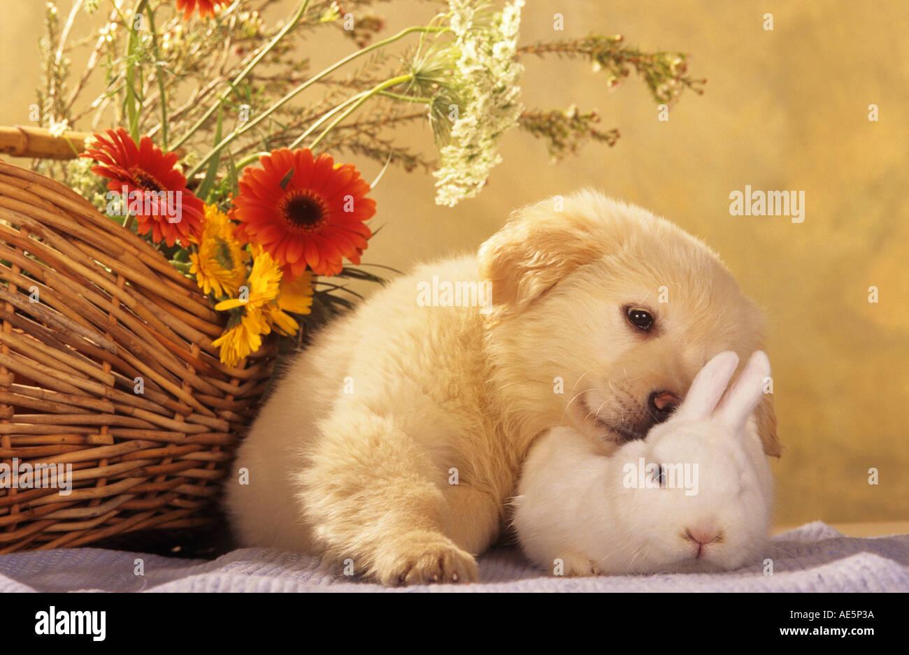 animal friendship: Golden Retriever dog puppy and dwarf rabbit - Stock Image