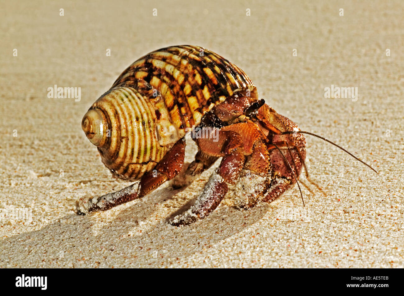 Hermit Crab Anomura Protect themselves by using empty shells of molluscs Seychelles Distribution Indian to Pacific Oceans - Stock Image