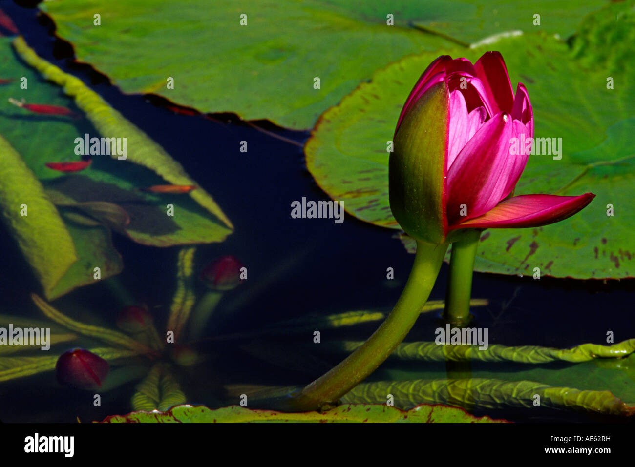WATER LILY Nymphaea odorata in the ENCHANTING FLORAL GARDENS in KULA MAUI HAWAII - Stock Image