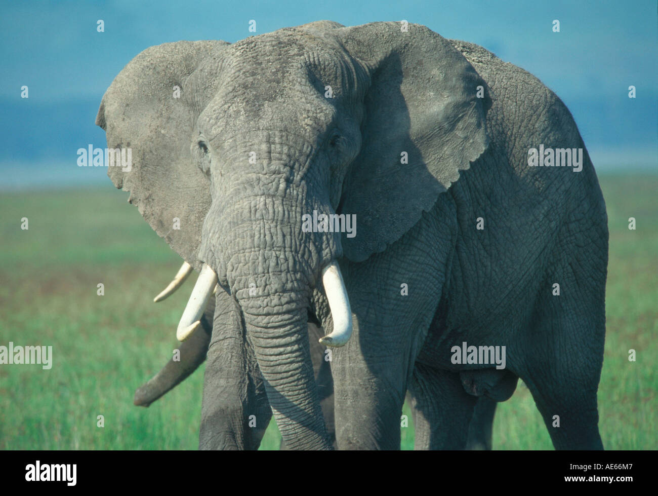 African Elephant, Ngorongoro crater, Tansania / (Loxodonta africana) - Stock Image